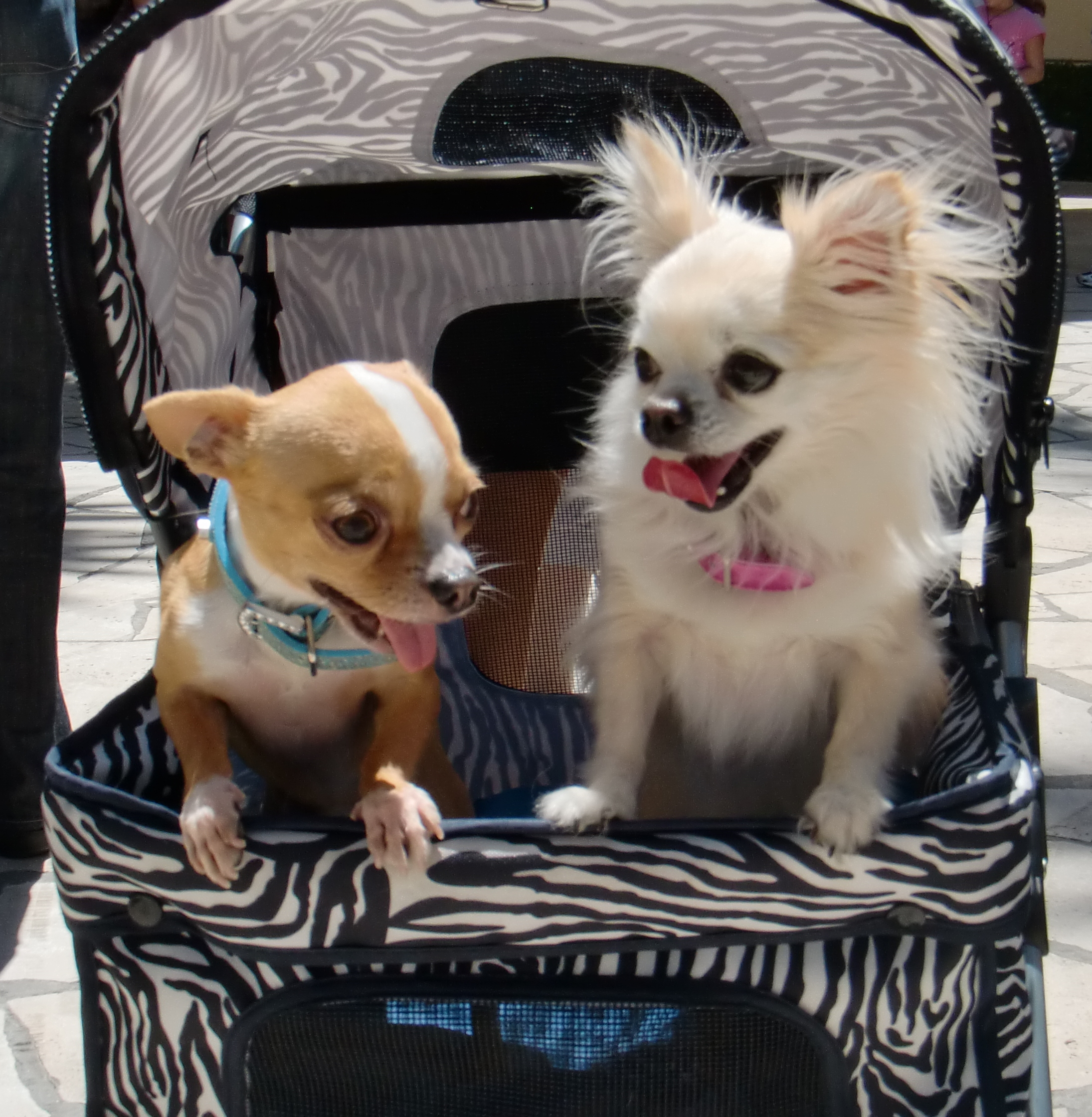 Chihuahuas in a stroller